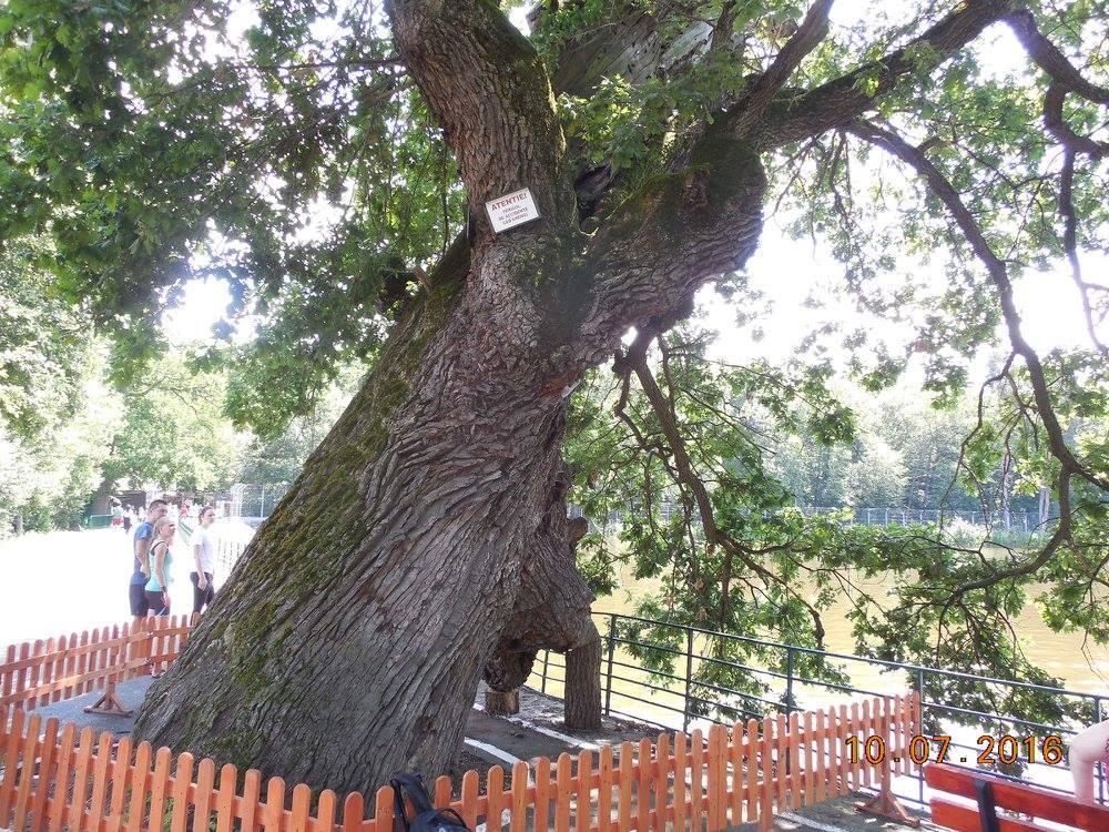 copac de 600 ani